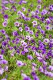 Pétunia - Calibrachoa Noa Blue Image stock