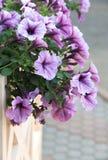 pétunia de floraison accrochant sur la barrière Photographie stock libre de droits