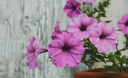 Pétunia fleurissant avec les fleurs roses Images libres de droits