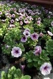 pétunia Mettez en place avec des fleurs de ressort et d'été dans des pots accrochants en serre chaude Pétunias colorés dans des p Photographie stock