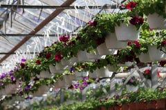 pétunia Mettez en place avec des fleurs de ressort et d'été dans des pots accrochants en serre chaude Pétunias colorés dans des p Image libre de droits