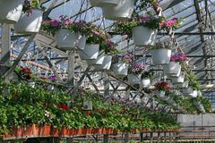 pétunia Mettez en place avec des fleurs de ressort et d'été dans des pots accrochants en serre chaude Pétunias colorés dans des p Photographie stock libre de droits