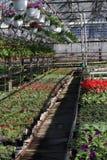 pétunia Mettez en place avec des fleurs de ressort et d'été dans des pots accrochants en serre chaude Pétunias colorés dans des p Image stock