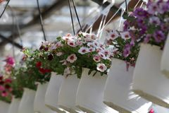pétunia Mettez en place avec des fleurs de ressort et d'été dans des pots accrochants en serre chaude Pétunias colorés dans des p Photo stock