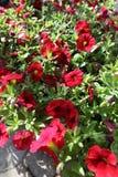 pétunia Mettez en place avec des fleurs de ressort et d'été dans des pots accrochants en serre chaude Pétunias colorés dans des p Photos libres de droits