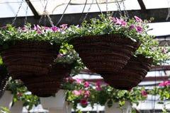 pétunia Mettez en place avec des fleurs de ressort et d'été dans des pots accrochants en serre chaude Pétunias colorés dans des p Images libres de droits