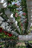 pétunia Mettez en place avec des fleurs de ressort et d'été dans des pots accrochants en serre chaude Pétunias colorés dans des p Photo libre de droits