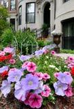 Pétunia rose et pourpré dans le jardin urbain élégant Images libres de droits