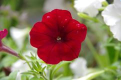 Pétunia rouge dans les jardins botaniques photographie stock