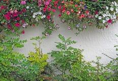 Pétunias fleurissants cascadant au-dessus du mur blanc de jardin de stuc Images stock