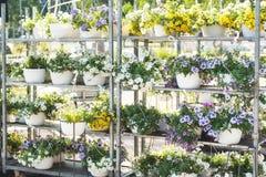 Pétunias hybrides de patio sur un support métallique à une jardinerie image stock
