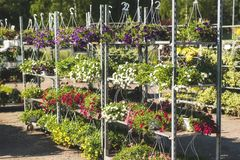 Pétunias hybrides de patio sur un support métallique à une jardinerie Image libre de droits
