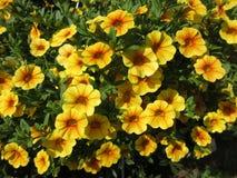 Pétunias jaunes en pleine floraison en mai image libre de droits