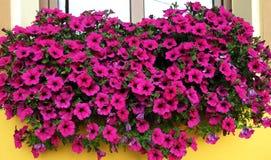 Pétunias roses dans la fenêtre photo stock