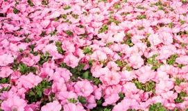 Pétunias roses de fond en grande serre chaude Photo libre de droits