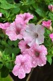 Pétunias roses et baisses de pluie Photo stock
