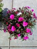 Pétunias roses sur le trottoir avec une fleur blanche images stock