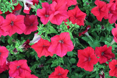Pétunias rouges Photo libre de droits