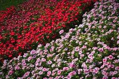 Pétunias rouges et blancs dans le lit de fleur photographie stock libre de droits