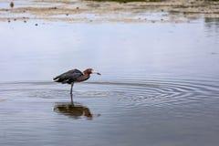 Pêchant le héron rougeâtre - île de Sanibel, la Floride photo libre de droits