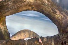 Pêche active de repos pour la perche en hiver de glace Images stock