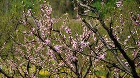 Pêche-arbre flourishing rose Images libres de droits