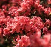 Pêche cramoisie Sakura, fleurs de fleurs de cerisier de Nara image stock