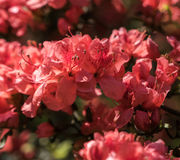 Pêche cramoisie Sakura, fleurs de fleurs de cerisier de Nara Images libres de droits