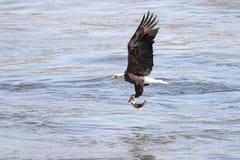 Pêche d'aigle chauve Photo libre de droits