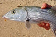 Pêche d'eau de mer - pêche de mouche attrapée par Bonefish Images libres de droits