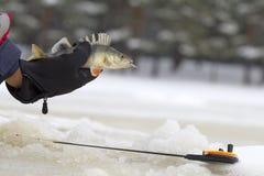 Pêche d'eau douce de perche Photo libre de droits