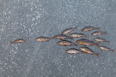 Pêche d'hiver - les poissons pêchés sur le Th glacent Photo libre de droits