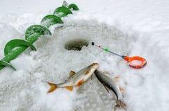Pêche d'hiver, poisson dans les mains du pêcheur Photographie stock libre de droits