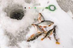 Pêche d'hiver, poisson dans les mains du pêcheur Image libre de droits