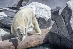 Pêche d'ours blanc Photos stock