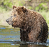 Pêche d'ours de Brown Photo libre de droits