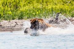 Pêche de beringianus d'arctos d'Ursus d'ours de Brown en rivière Le Kamtchatka, Russie photos stock