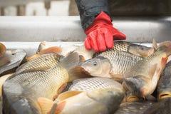 Pêche de carpe Photo libre de droits