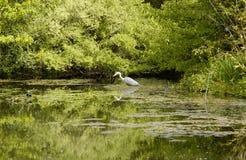 pêche de héron dans l'étang Photographie stock libre de droits