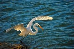 Pêche de héron de blanc grand, la Floride Image libre de droits