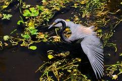 Pêche de héron de la Louisiane image libre de droits