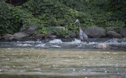 Pêche de héron sur la roche en parc Images libres de droits