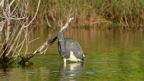 Pêche de héron de Tricolored sur l'étang Mouvement lent clips vidéos