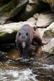 Pêche de l'ours noir Photos libres de droits
