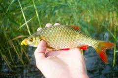 Pêche de lac d'été de Rudd Photographie stock libre de droits
