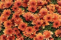 Pêche de maman de jardin, morifolium de chrysanthème Photographie stock libre de droits