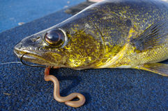 Pêche de poissons de brochets vairons attrapée avec le ver et le crochet Photos libres de droits