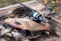 Pêche de trophée Grands poissons communs d'eau douce de brème et canne à pêche avec la bobine sur l'épuisette image stock