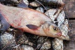 Pêche de trophée Grands poissons communs d'eau douce de brème sur l'épuisette photo stock