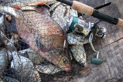 Pêche de trophée Poissons de brème d'eau douce et brème argentée dans l'épuisette avec le crochet de pêche dans lui et la canne à image libre de droits